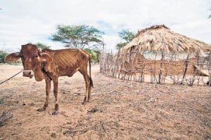 Cow suffering from malnutrition due to 2011 African drought