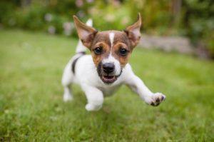 Puppy running on lawn