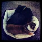 Lab puppy chihuahua cuddling dog bed