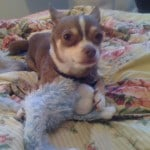 My Chihuahua Howie Long with a toy