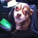 Howie Long my pet Chihuahua