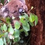 Koala eating a gum tree in Australia