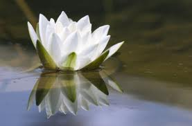 Peaceful Water Lilly in a pond