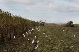 Sugar cane in Clewiston Florida